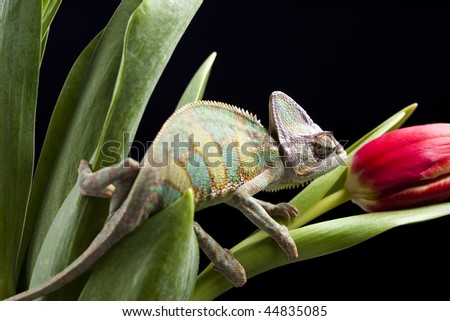 Chameleon & Tulip - stock photo