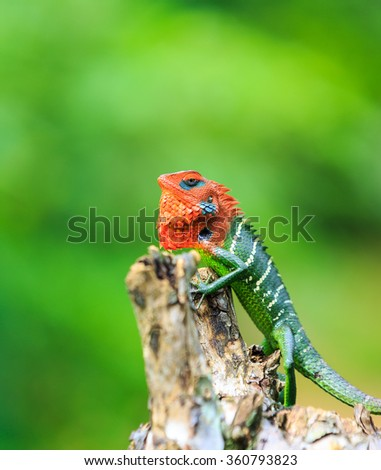 Chameleon with red head and green body on a branch - stock photo