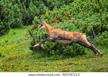 chamois (rupicapra rupicapra) in natural habitat - stock photo