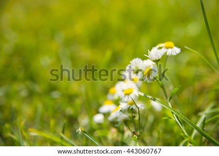 chamomile and green fresh grass, bokeh, blur, space for text - stock photo