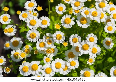 Chamomile, daisies field flowers spring meadow, floral background, - stock photo
