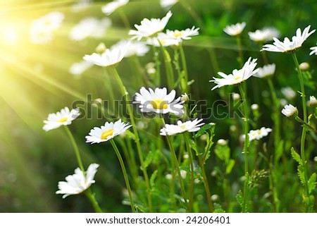 Chamomile field and the sun i background - stock photo