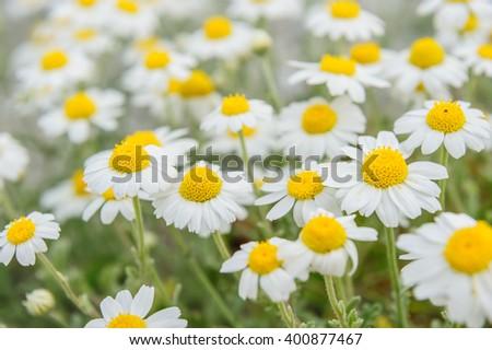 chamomile field macro - stock photo