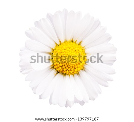 Chamomile flower isolated on white background - stock photo