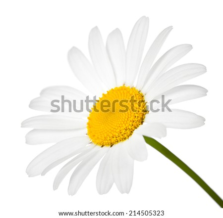 Chamomile flower isolated on white background. Macro shot - stock photo