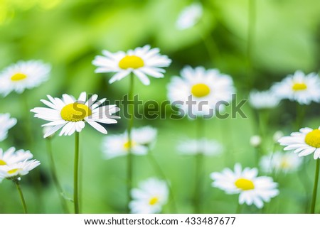 Chamomile flowers.Blooming chamomile. - stock photo