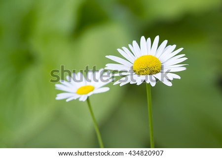 Chamomile flowers.Blooming chamomile. - stock photo