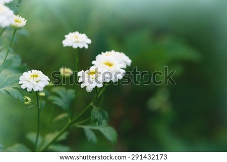 chamomile flowers, blooming in a meadow - stock photo