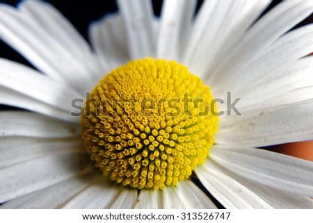 Chamomile flowers close-up - stock photo