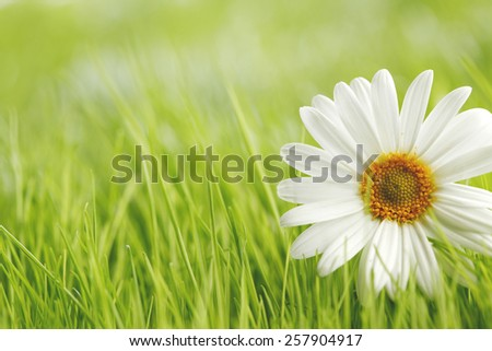 Chamomile flowers in fresh spring green grass close-up - stock photo