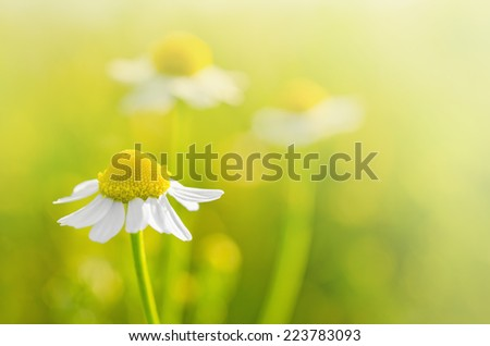 Chamomile flowers in the field - Selective focus - stock photo