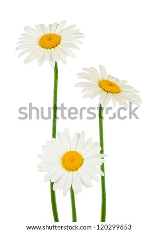 chamomile flowers isolated on white - stock photo
