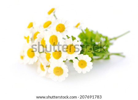 Chamomile flowers on a white background - stock photo