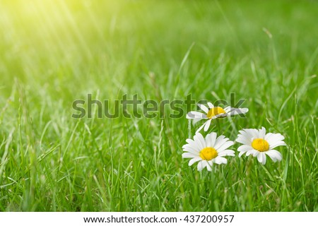 Chamomile flowers on grass field on sunny summer day. View with copy space - stock photo
