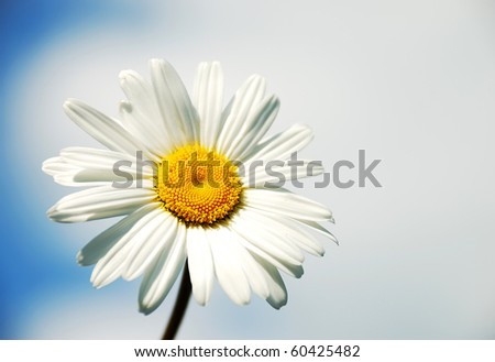 Chamomile on the sky background - stock photo