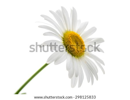 Chamomile with pollen on the petals on white background. - stock photo