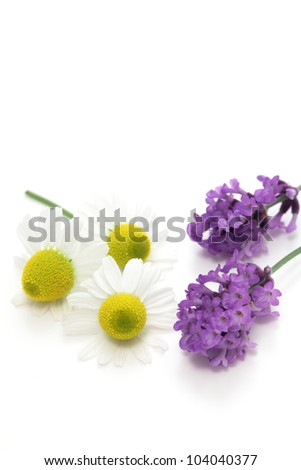 Chamomiles and lavender flowers on white background - stock photo