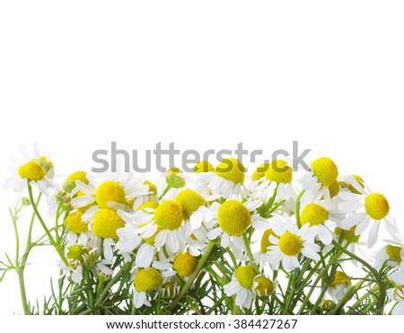 Chamomiles isolated on white background. shallow depth of field. - stock photo