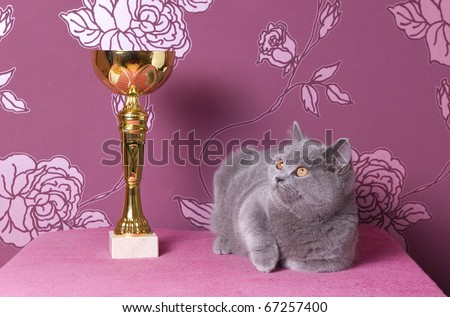 champion british shorthair kitten with a cup - stock photo