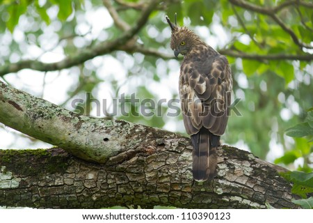 Changeable Hawk Eagle resting on a perch - stock photo