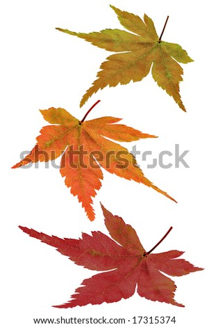 Changing colors of an autumn leaf - stock photo