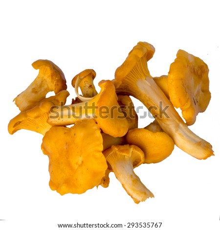 Chanterelle mushrooms isolated on white background. Cantharellaceae Basidiomycetes. - stock photo