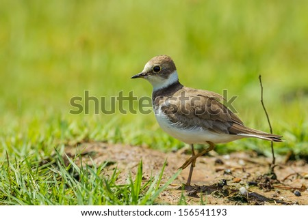 Charadrius dubius (little-ringed plover) posting in nature of Thailand - stock photo