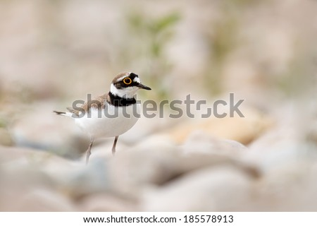 Charadrius dubius on the stones - stock photo