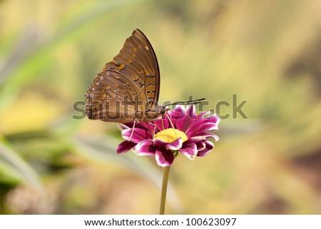 Charaxes cithaeron butterfly - stock photo