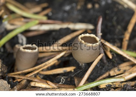 Charcoal loving elf-cup, Geopyxis carbonaria - stock photo