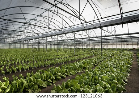 chard cultivation in a greenhouse in the town of Villa del Prado, Madrid - stock photo