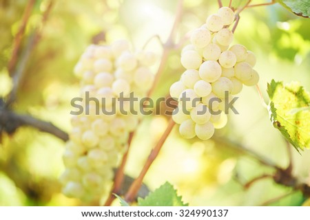 Chardonnay, Sauvignon or Rkatsiteli green ripe bunch of grapes in vineyard during fall harvest - stock photo