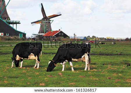 Charming Dutch pastoral. Cows grazing on lush grass not far from the windmills. - stock photo