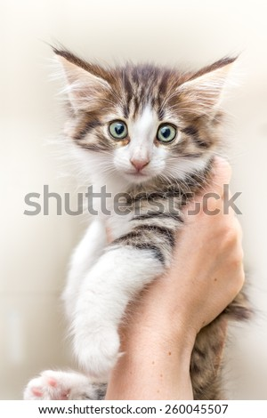 Charming kitten on a woman's hands isolated on white - stock photo