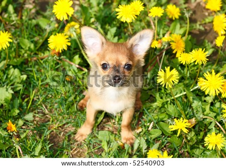 charming puppy of the Chihuahua rests on field with dandelion - stock photo