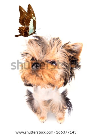 charming Puppy with butterfly on the white background - stock photo