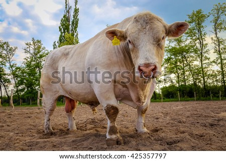 Charolais beef cattle breed bull on the paddock - stock photo
