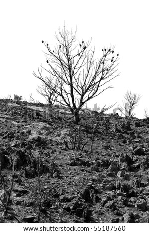 Charred pine tree silhouette after a forest fire. Black and white. - stock photo