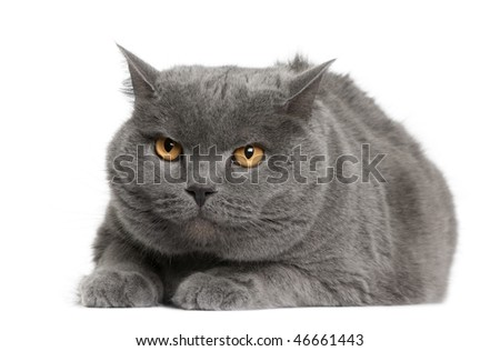 Chartreux cat, 7 years old, sitting in front of white background - stock photo