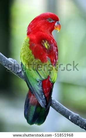 Chattering Lory 2 - stock photo