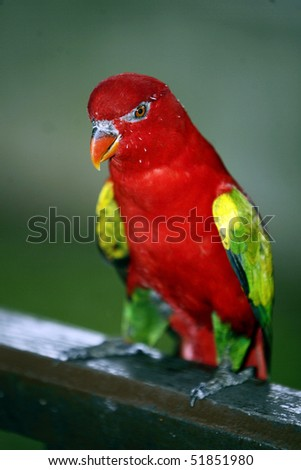 Chattering Lory 4 - stock photo