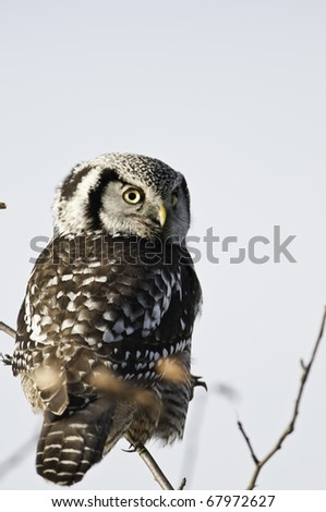 Checking out the paparazzi.A day time hunter and perched on top of a tree looking for a meal.This is a rare sighting in Vancouver - stock photo
