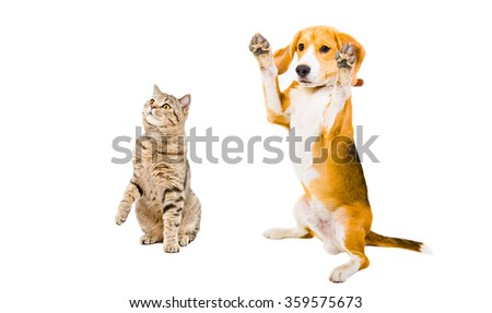 Cheerful Beagle dog and cat Scottish Straight, isolated on white background - stock photo