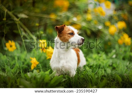Cheerful dog, Jack Russell Terrier playing - stock photo