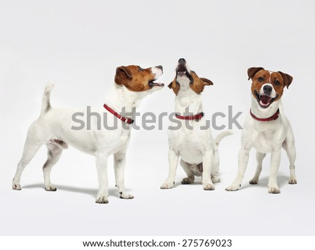 Cheerful dogs on a white background Jack Russell terrier. The dog breed Jack Russell terrier white with a brown patch on a white background - stock photo