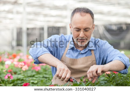 Cheerful old gardener is cutting leaves of plant at greenhouse. He is standing and smiling. The man is holding scissors. He is wearing an apron - stock photo