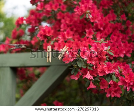 Cheerful, short depth of field photo of bright red azaleas on a huge bush around a vintage wooden clothesline. Focus is at center of frame on dangling blossoms and clothespin. - stock photo