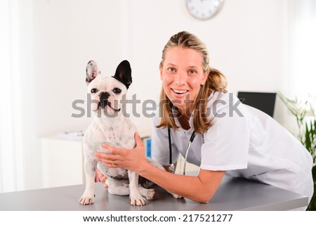 cheerful young blonde veterinary taking care and examining a beautiful pet dog french bulldog  - stock photo