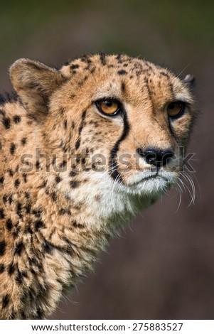 cheetah - Acinonyx jubatus - stock photo