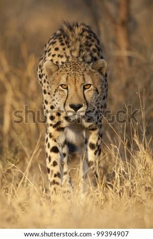 Cheetah (Acinonyx jubatus) alert and watching, South Africa - stock photo